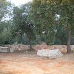 Agricampeggio_olivi_pietre