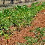coltivazioni agricampeggio salento terra di moro torre mozza (1)
