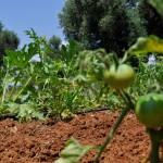 coltivazioni agricampeggio salento terra di moro torre mozza (2)