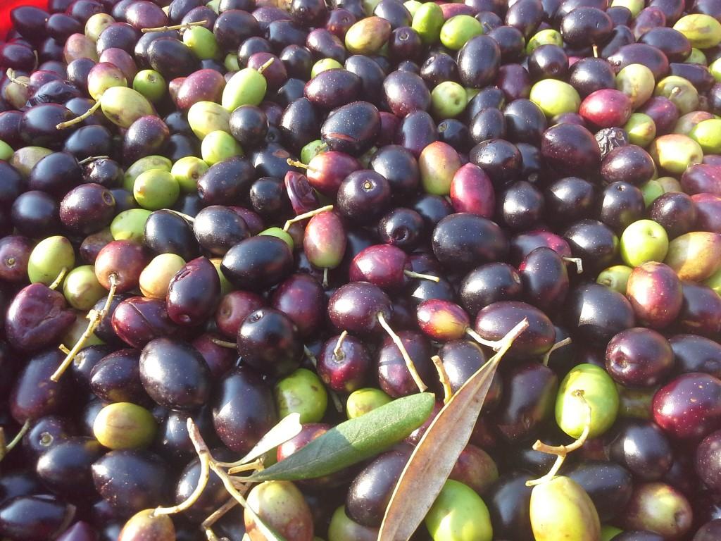 olive-terra-di-moro-salento-agricampeggio